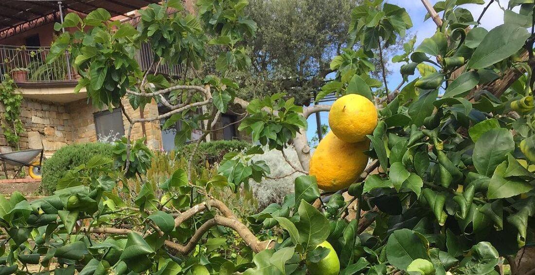 Zitronenfrüchte auf San Leo